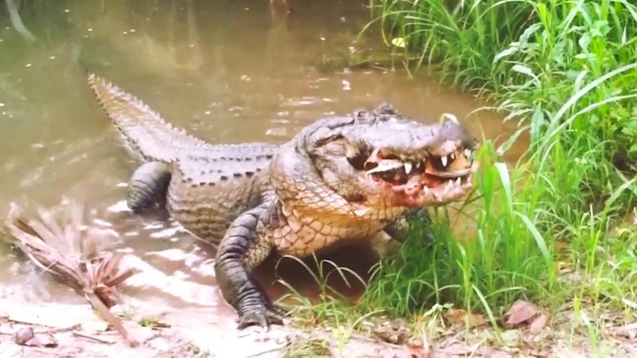 Aligator eats turtle