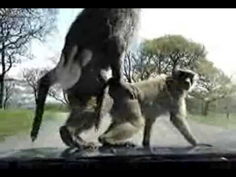 ANOTHER video of monkeys loving on car hood!!! Why are there so many of these?