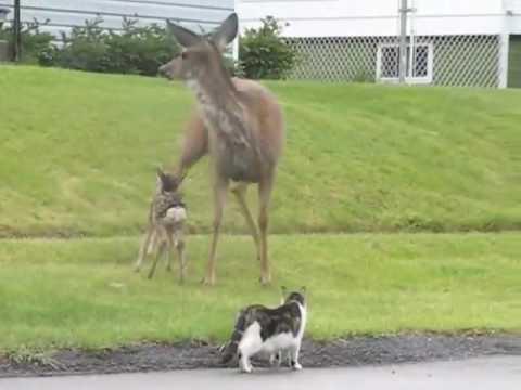 Big ass momma deer fucking up stupid cat