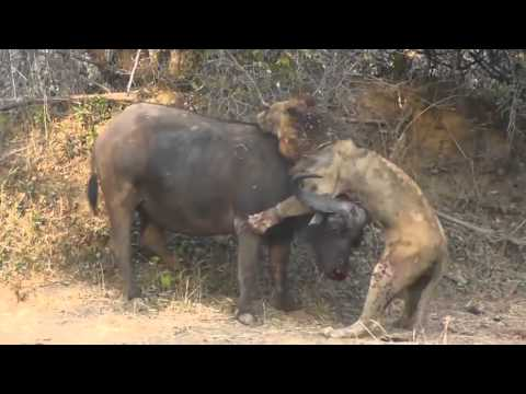 Buffalo squares up with hungry lion (FIGHT)