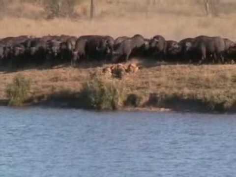 Lion/Water Buffalo/Crocodile fight (DIS SHIT NUTS!!!!!!!)