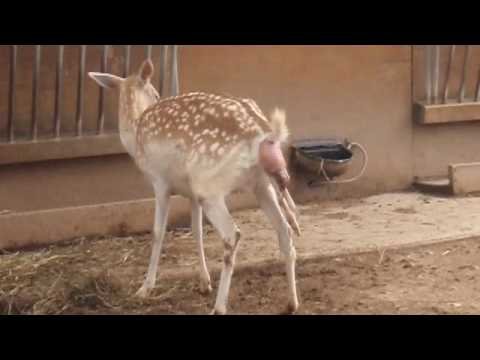 Cool Deer birth