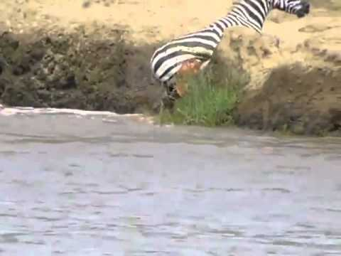 CROCODILES EAT LUNCH!!! (Zebra)