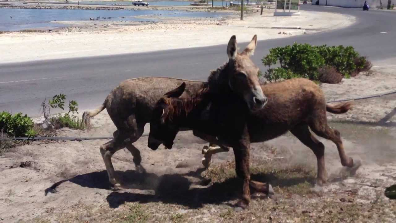 Donkeys fighting (DAMN! THEY SCRAPPIN!)