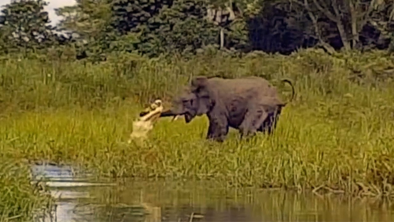Elephants VS Crocodile (FIGHT)