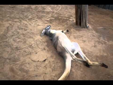 Extremely lazy kangaroo pooping