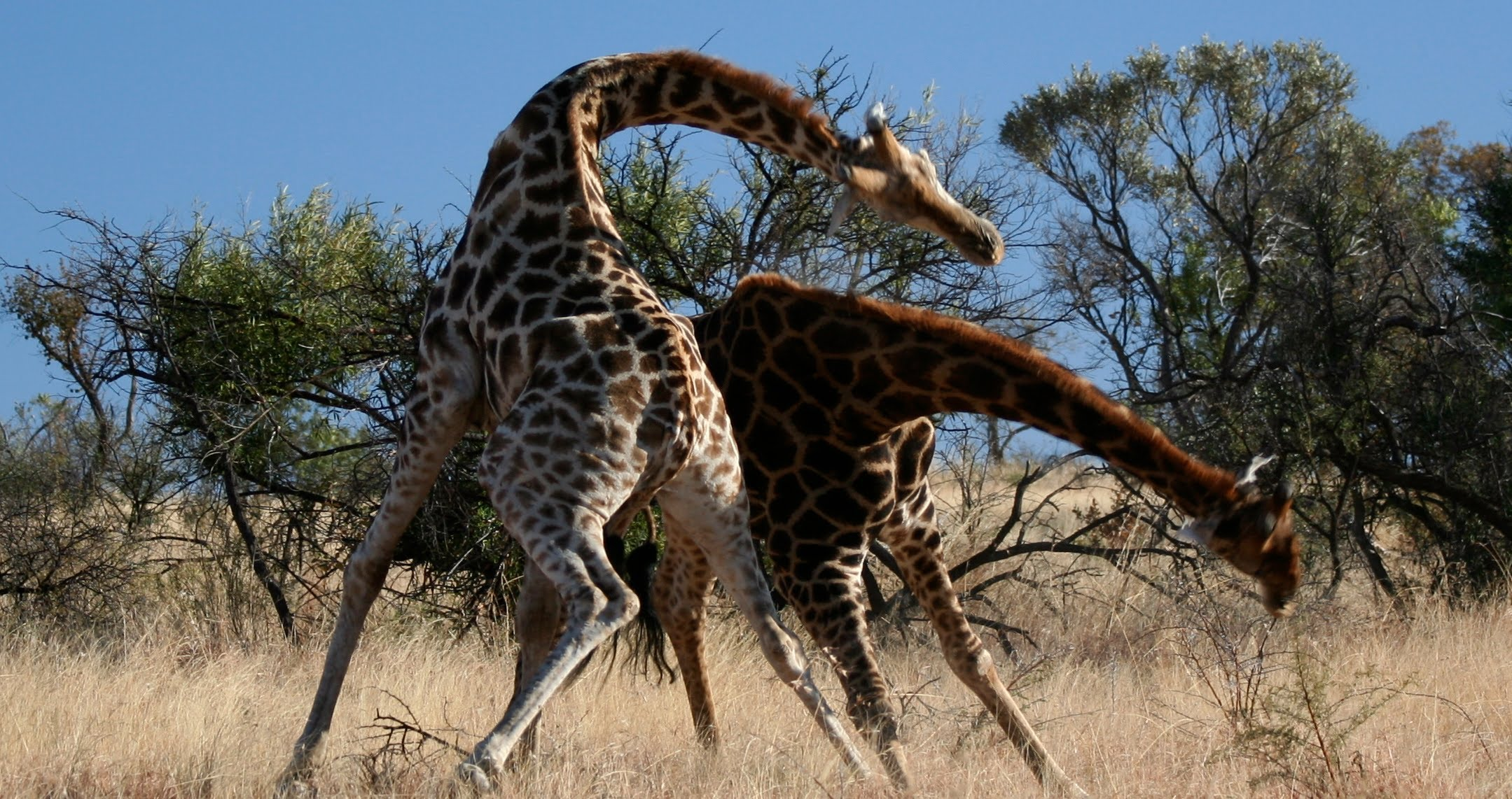 Giraffes fighting