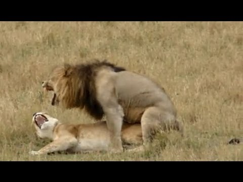 Good lion sex