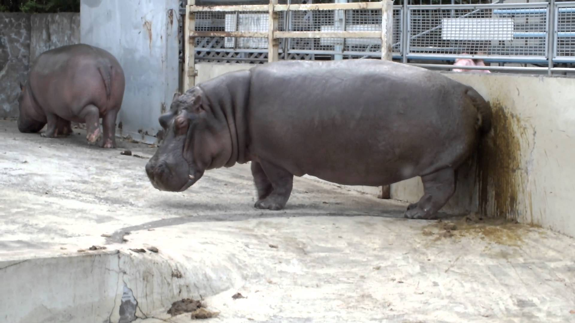 Hippo blasting the wall with shit (Too much Metamucil)