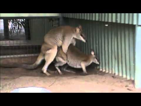 Kangaroo pipe game