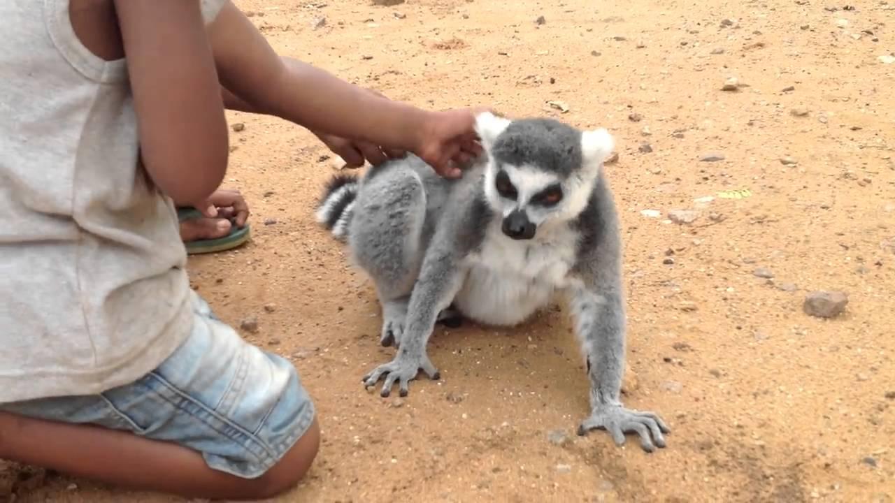 Lemur petting (cute)
