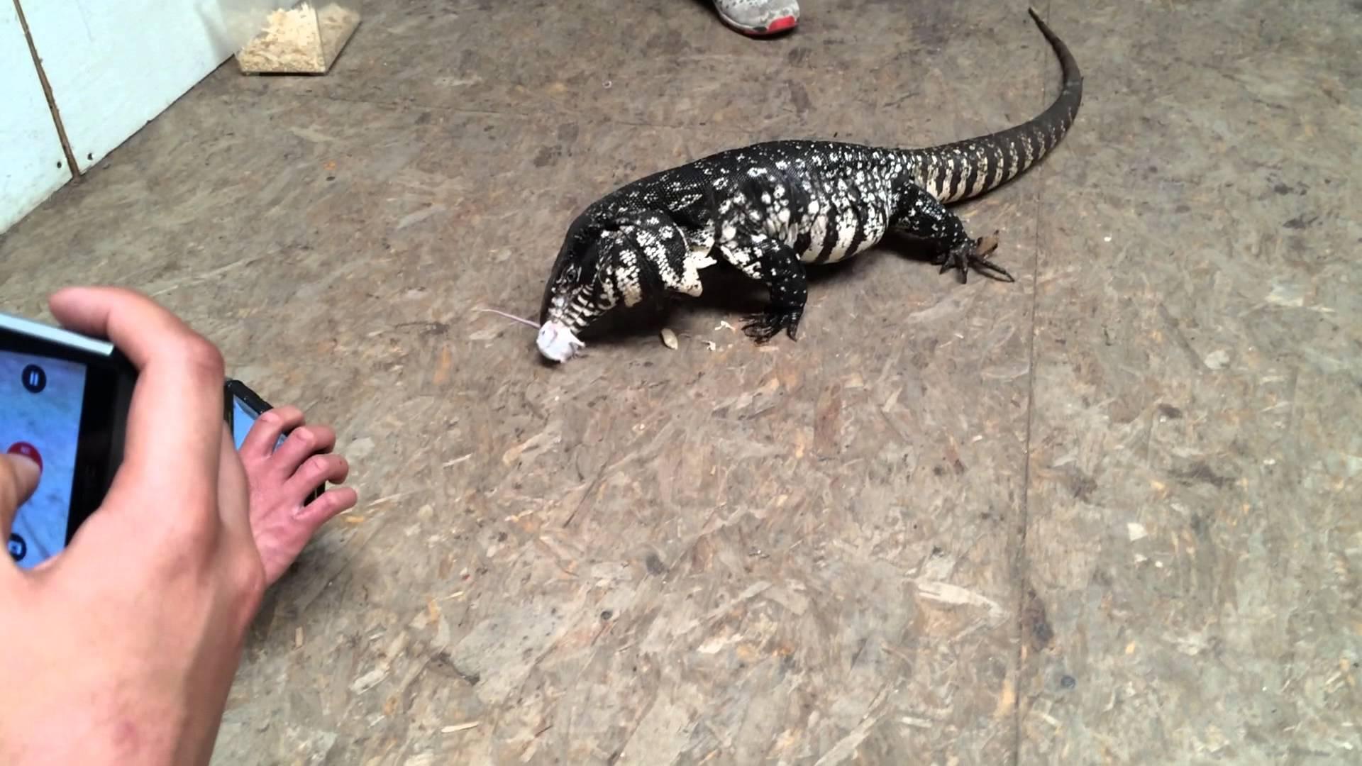 Lizard EATS MOUSE
