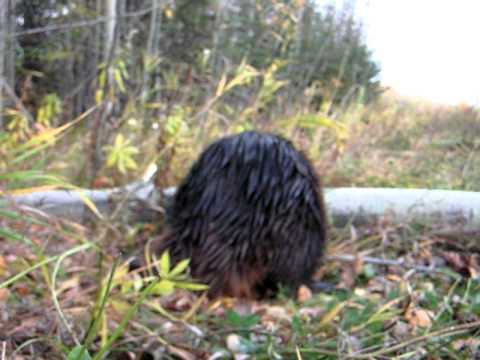 Man tries to pet beaver (UNSUCCESSFULLY)