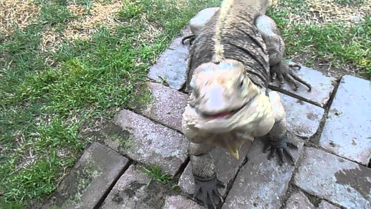 Man with dirty hands pets HUGE lizard (YOU WONT BELIEVE IT!)