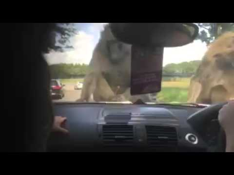 More monkeys loving each other on car hood (scares baby in car)