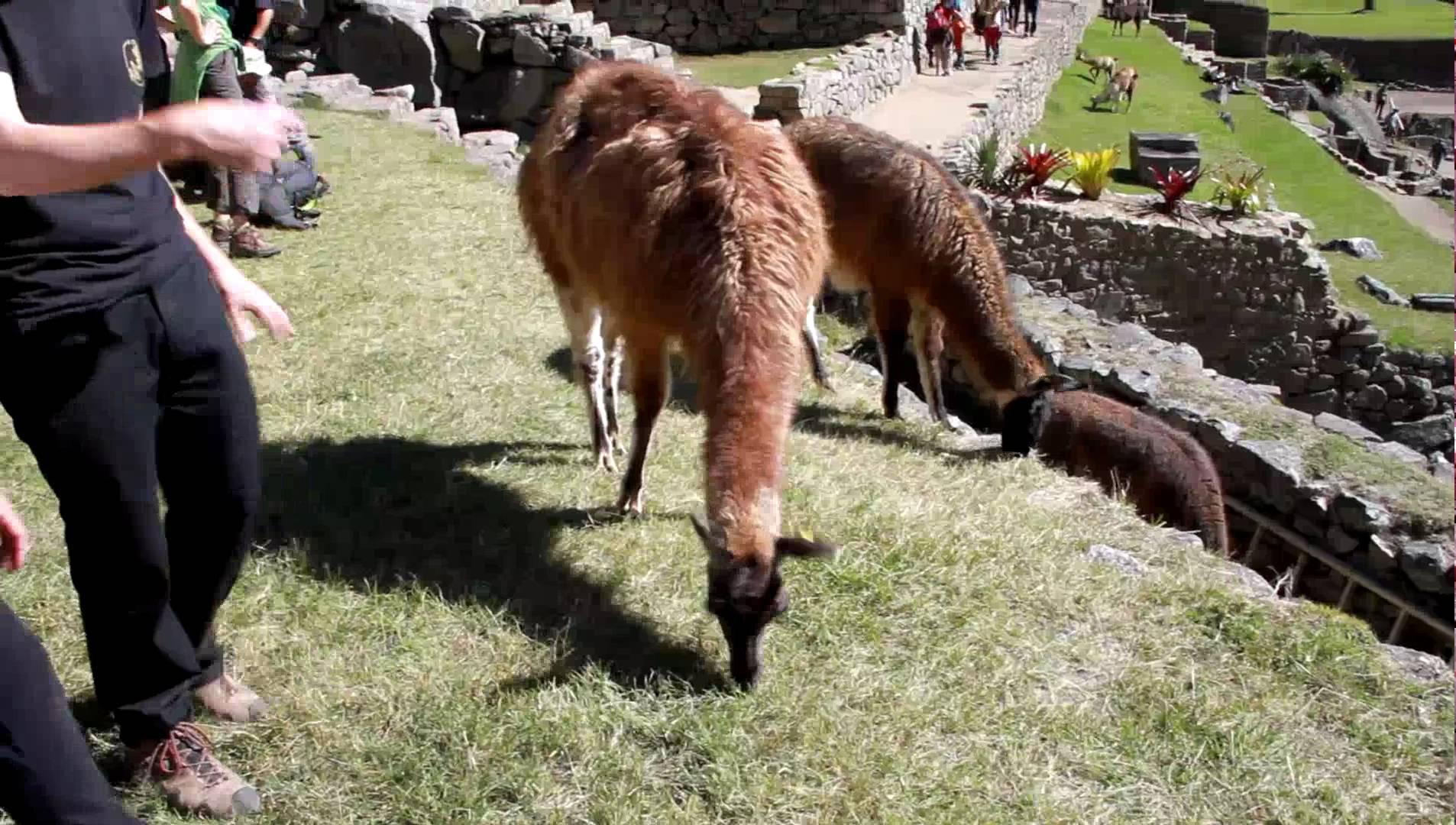 Petting big ass llamas in Machu Pichu