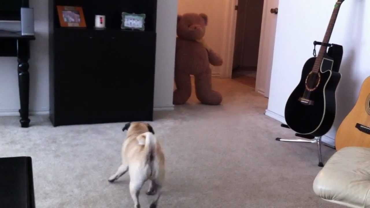 Pug shits