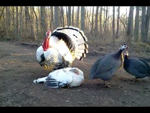 Turkeys mating (Give em some privacy guys jeez)