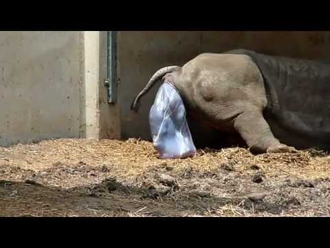 White Rhino giving birth (these rhinos crazy!)