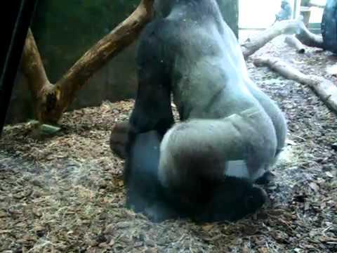 Gorilla Loving