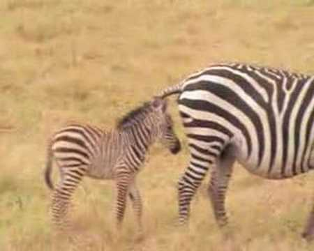 Mommy zebra shits on baby zebra's head while British tourists chuckle in background