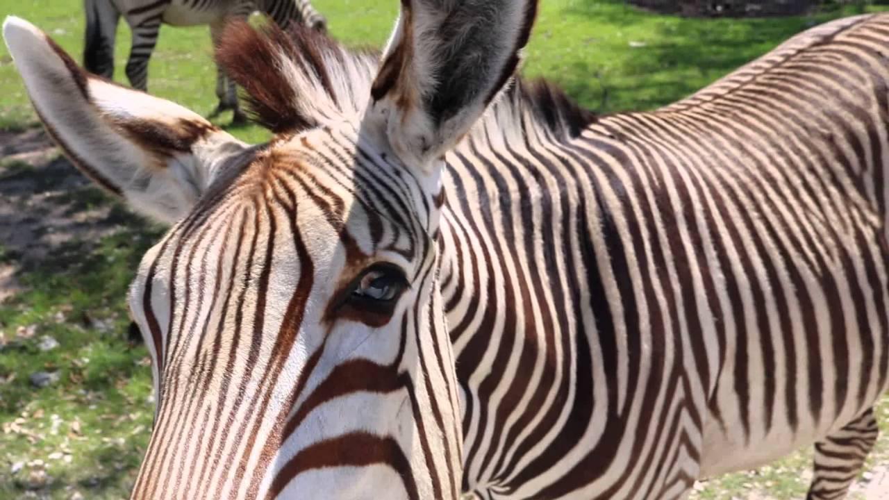 Teresa pets zebra