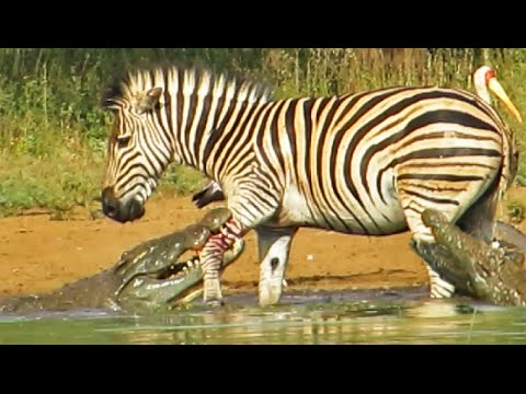 Zebra escapes death by crocodile