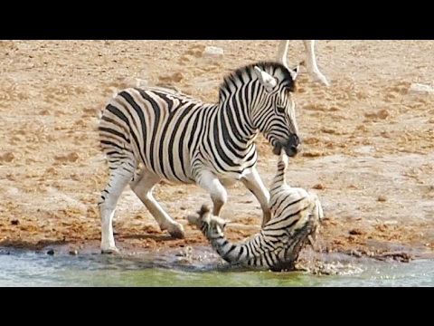 Zebra tries to kill baby zebra (foal) but FAILS