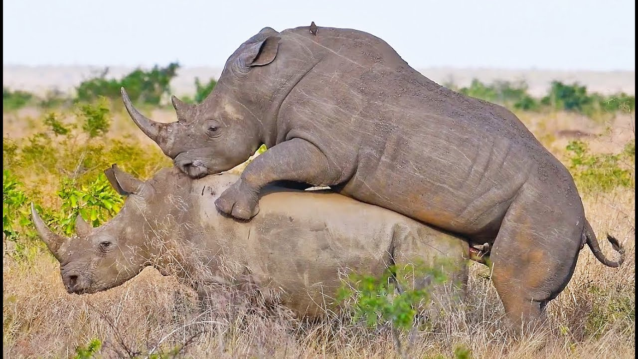 RHINO SEX (COOL)!!!