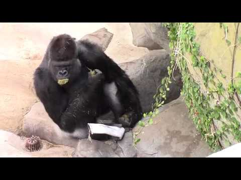 Very confident gorilla CONSUMES own feces!