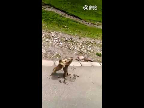 VICIOUS SQUIRREL BRAWL IN THE MIDDLE OF THE STREET