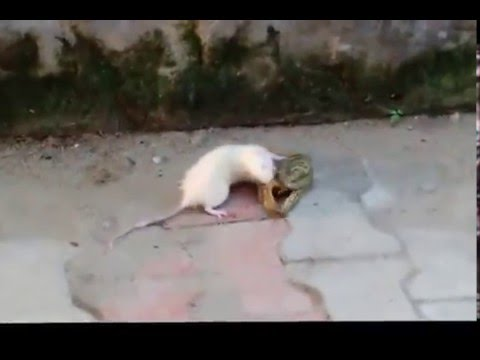 Frog Vs Mouse
