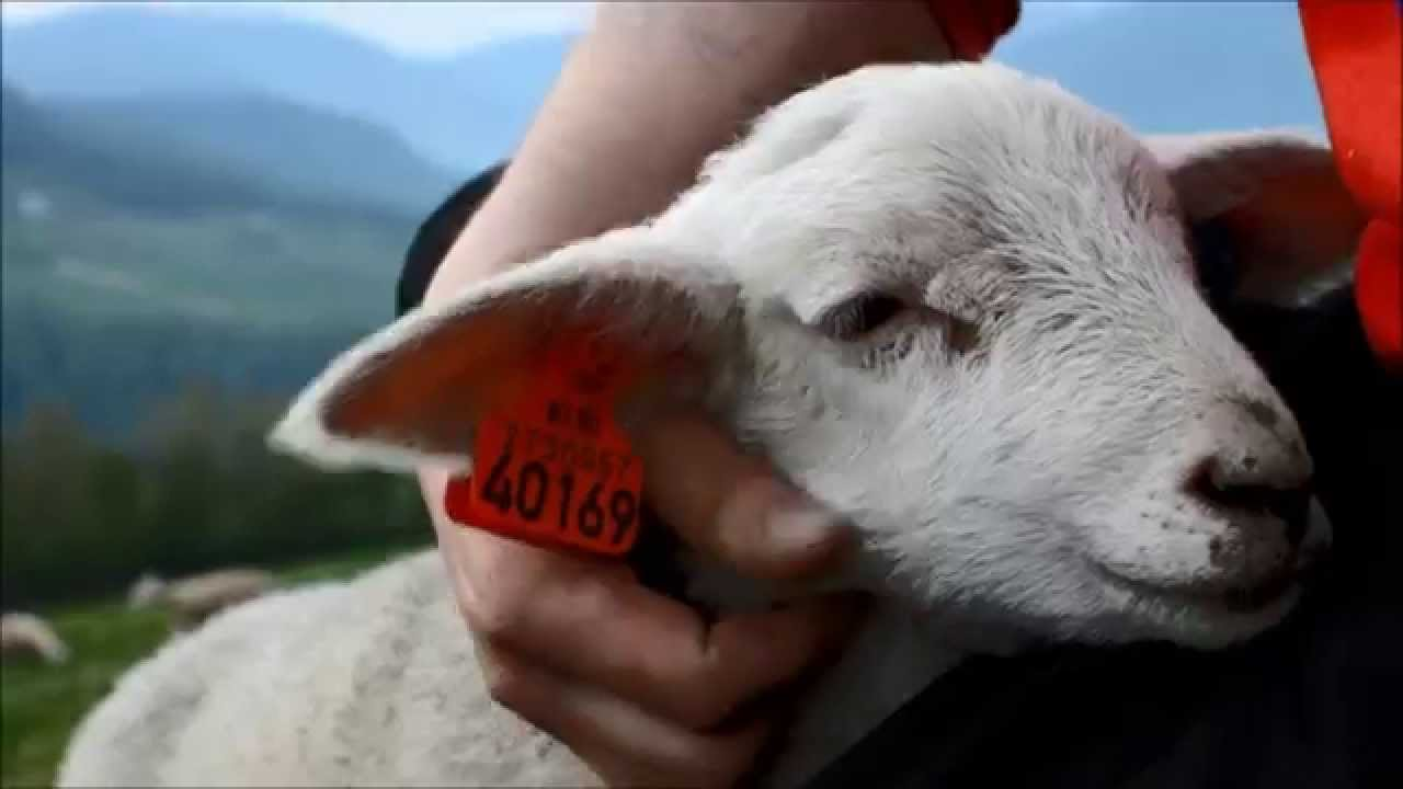 Awesome Sheep Petting Video