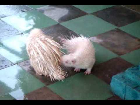 Exotic Albino Porcupine Mating Procedure (Extremely technical)