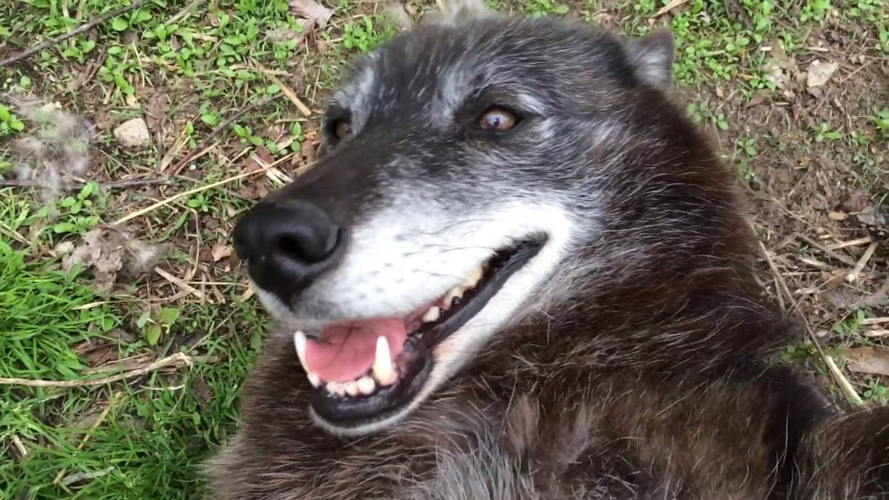 Happy Wolf Getting Petted