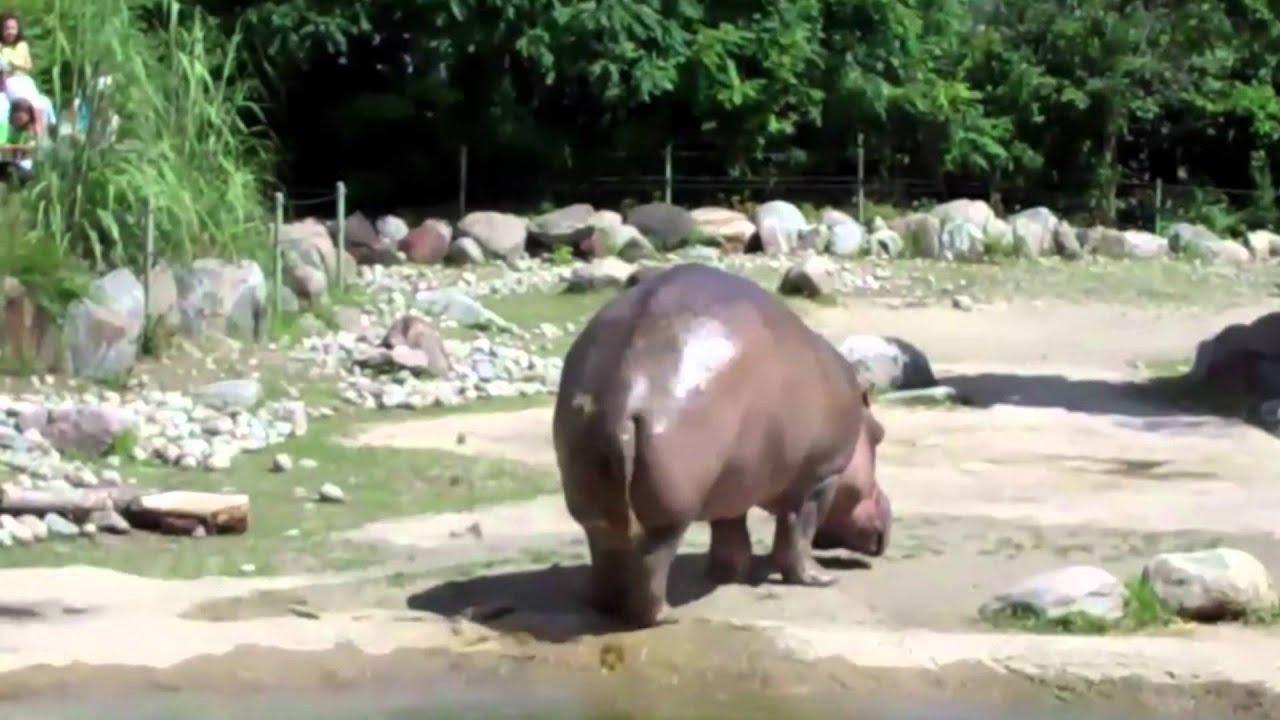 Hippo Fart/Poo Vid