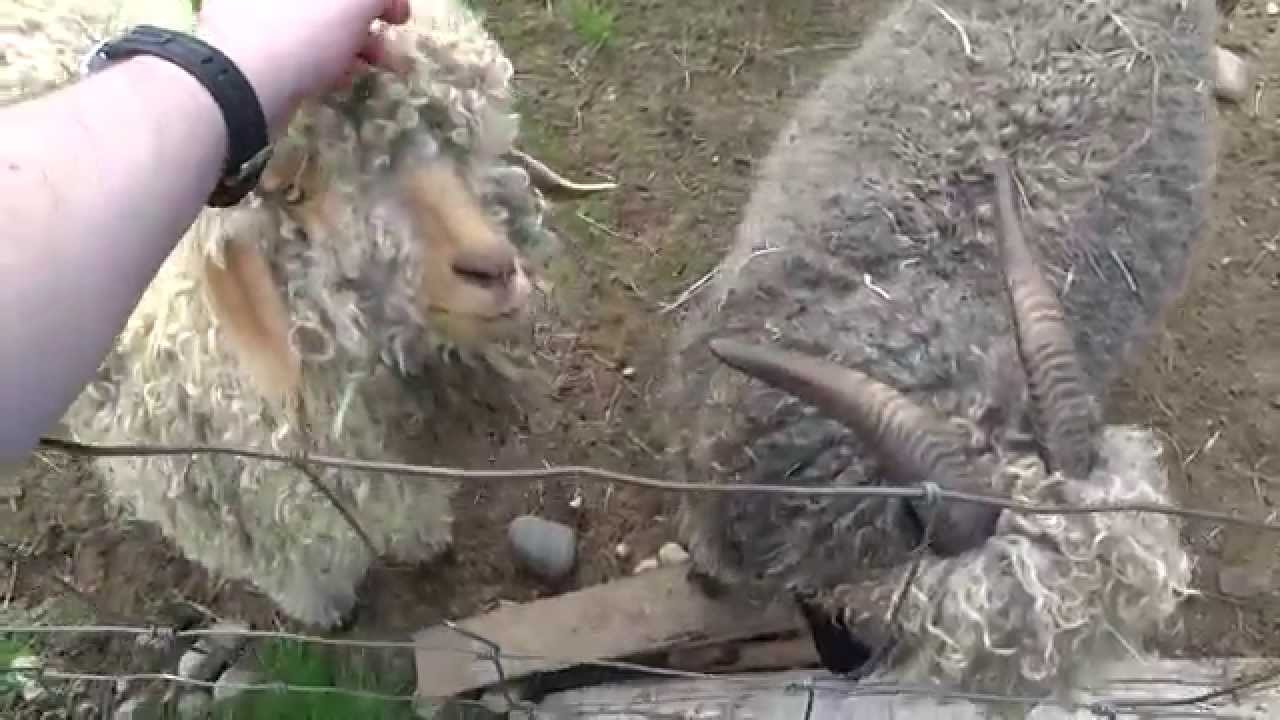 Petting Big Ass Goats With Curly Hair