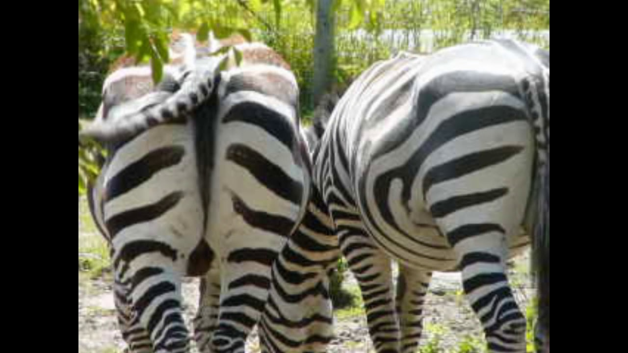 Zebra Fart Vid