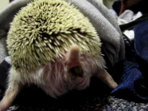 Constipated Hedgehog! He needs some Metamucil!