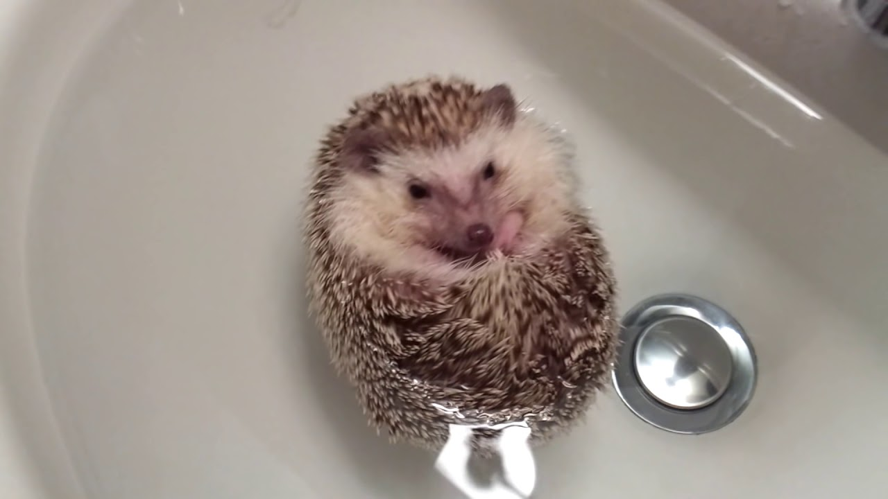 Hedgehog extremely relaxed floating in some water!
