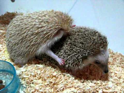 Hedgehogs consummating marriage