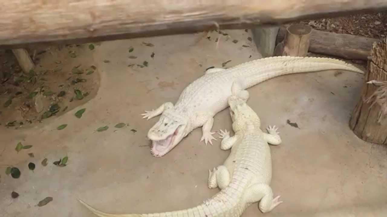 Aligator Fight