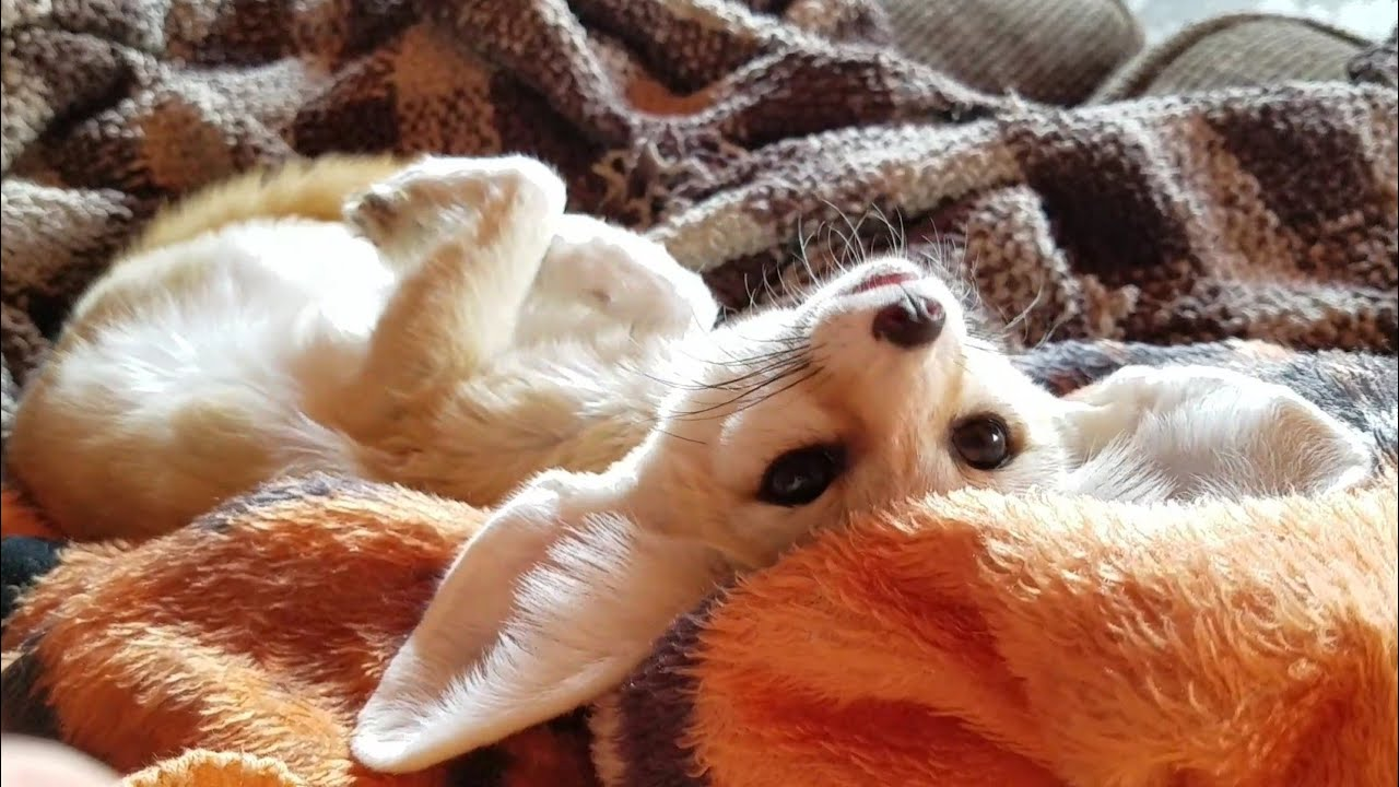 Fennec Fox Getting Petted Nicely