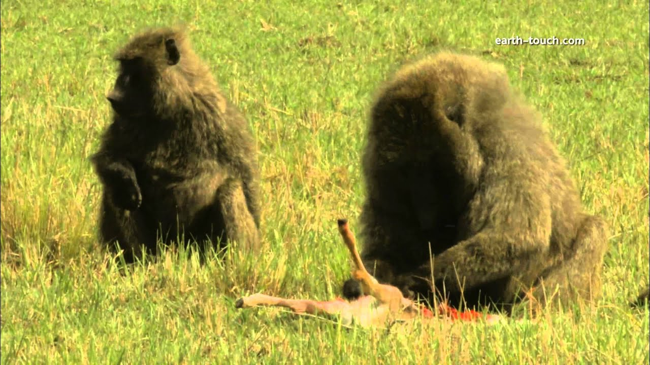 Baboon eats gazelle (gross video, please dont watch)
