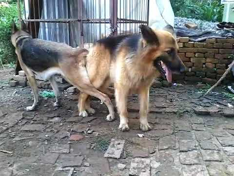 German Shepherds Mating