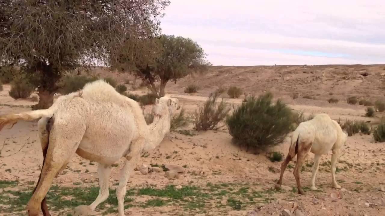 Camel Twinkles!!!!