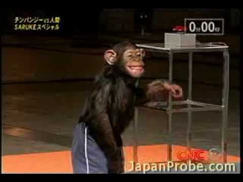 Chimpanzee blows through Ninja Warrior course