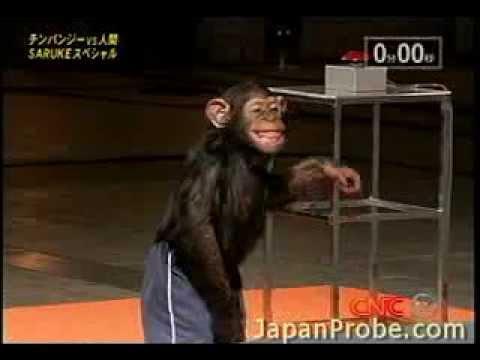 Chimpanzee blows through Ninja Warrior course