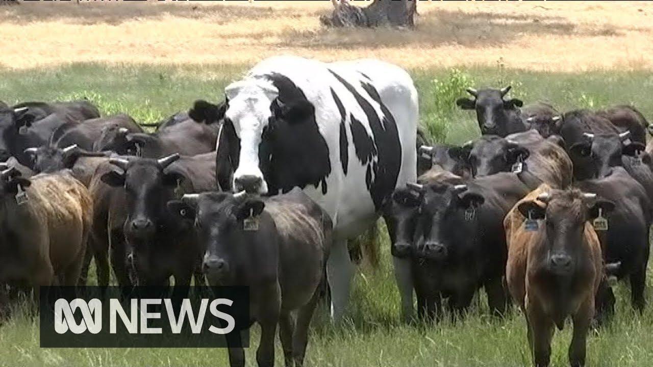 HUGE Cow!!!!