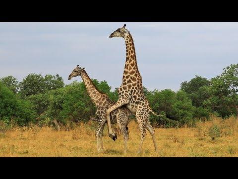 Giraffe mating